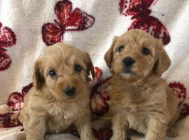 Shih tzu x minature poodle puppies ready now