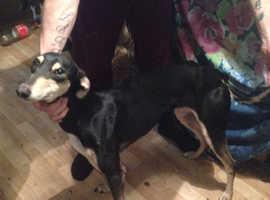 Saluki whippet grayhound 22 months old
