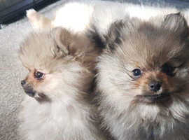 Pomeranian male puppies for sale