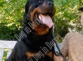 Premium Quality Rottweiler Puppies in Dorset