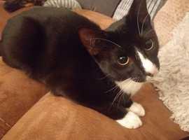 black and white half siamese kitten