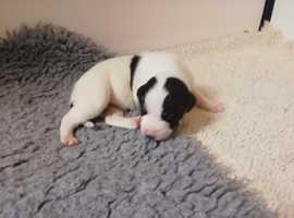 Lurcher pups whippet/bull/grey/saluki/belington