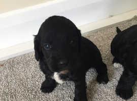 Cockapoo puppy's for sale
