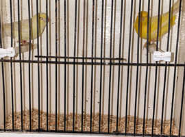 Satinette canary's