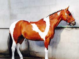 stunning arab partbred horse