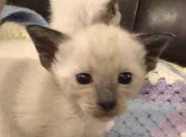 Stunning Siamese Kittens, off J13 A55