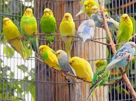 12 Breeding pairs of Budgies for sale. 40 pounds for a pair.