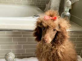 Kc reg toy poodle girl
