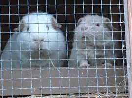 Skinney pig carrier boy guinea pig boars