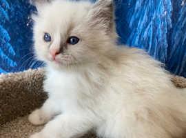 Gccf purebred ragdoll kittens