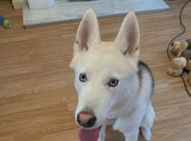 8 month old male husky