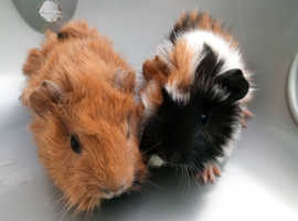 2 Male Baby Guinea Pigs For Sale
