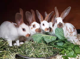 Purebred vaccinated baby English rabbits, ready now!