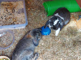 3 giant lops for sale