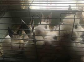 10 weeks old bunnies