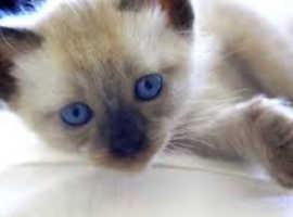 BURMESE BLUE EYED KITTENS
