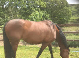 lovely natured mare