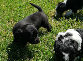 Lovely Jack-A-Poo puppies
