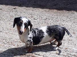 Mini smooth haired dachshund