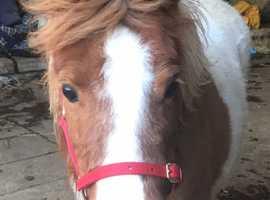 Shetland mare