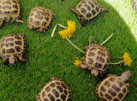 Horsfield tortoises and set ups