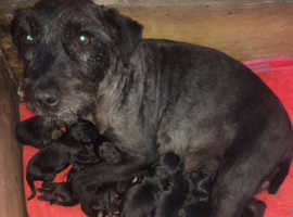 5 patterdale terriers just females left
