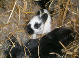 Continental Giant baby rabbits - reserve - vaccinated