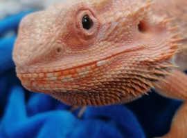 Orange tame male dragon