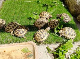 Horsfield tortoises and set ups