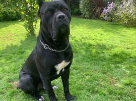 **cane corso puppies** licensed breeder