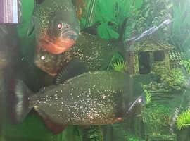 3 large Piranha