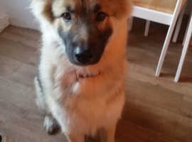 German shepherd cross malamute for sale