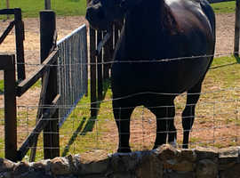 17hh Companion/in hand showing gelding Welsh D