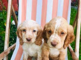 Cocker spanial puppys