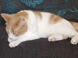 Ginger and white male cat