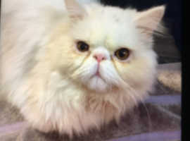 Male Persian looking for a new home extremely friendly and family with the other pest