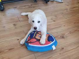 Golden retriever puppy girl