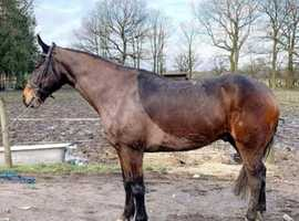 Fully registered 17hh Irish draught