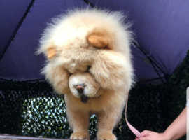 Kc chows for sale