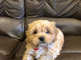 WANTED CAVACHON PUP (BITCH) OR OLDER