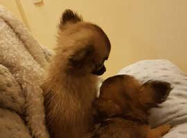 Long coat Chihuahua pups