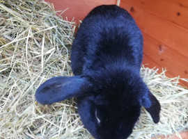 Urgent. Female lop bunny needed for our 2 year old male.
