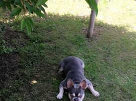 Lilac and cream french bulldog