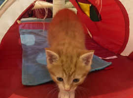 Super Cute Ginger Male Kitten