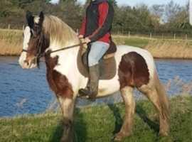 Pretty cob mare