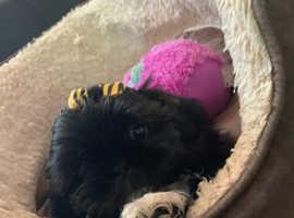 i have 5 kc registered shih tzu puppies for sale