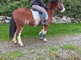 Approx 13.2 super allrounder type pony / hunt
