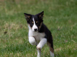 Border collie pups/puppys