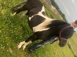 Outstanding mini horse stallion