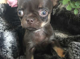 Stunning choc/ tan chihuahua .. Top pedigree